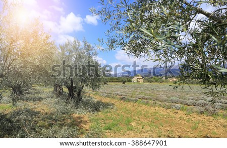 Landscape of southern France: plantation of olive trees in Provence - stock photo