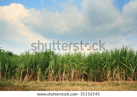 Landscape of sugar cane plantation