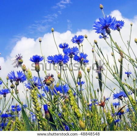 landscape of summer field from blue cornflower and blue sky - stock photo