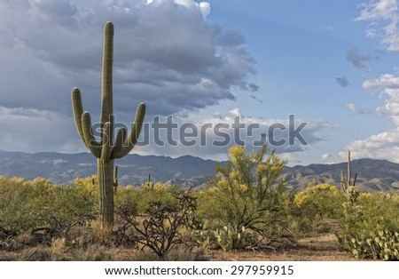 Landscape Of The Saguaro National Forest - stock photo