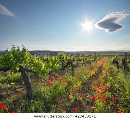 Landscape of vineyard. Nature composition. - stock photo