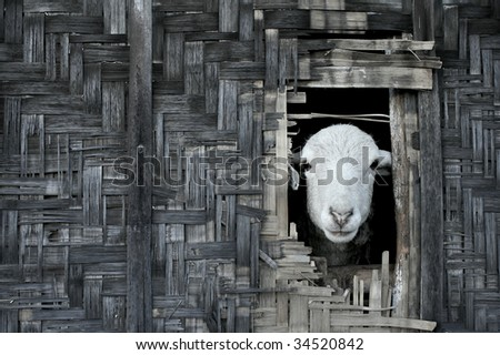 Landscape photo of sheep looking out from thatched bamboo hut - stock photo
