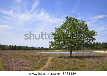 """Landscape photo showing purple fields of heather (Calluna vulgaris) at a location called the """"Strabrechtse Heide"""" near Lierop in the Netherlands. Also depicted are a tree and small lake. - stock photo"""