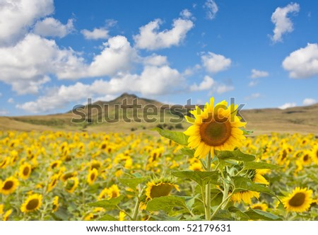Landscape photograph of a field of sunflowers and a beautiful sky and mountain