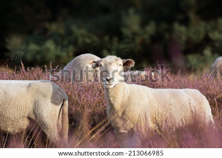 Landscape preservation with Sheeps in the Heather - stock photo