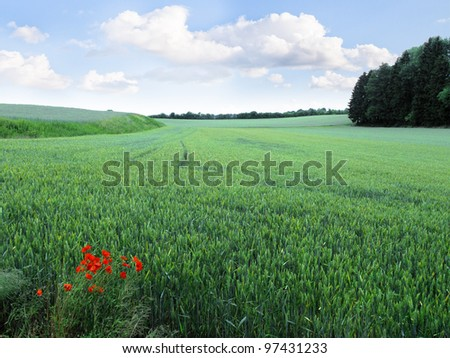 Landscape. Red poppies on summer meadow and the blue sky. A field of wheat.