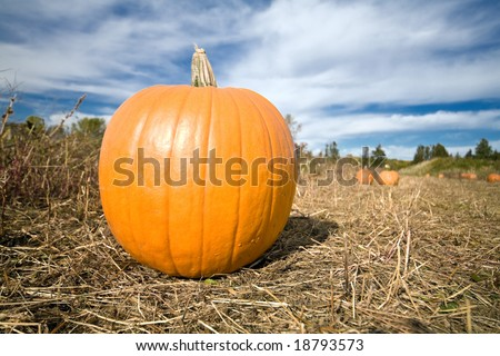 Landscape single pumpkin in farm patch with blue sky background.
