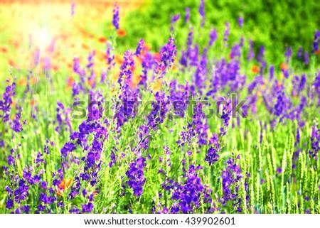 Landscape Spring field of purple flowers in Bulgaria - stock photo