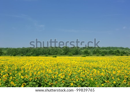 landscape. sunflower field and sky