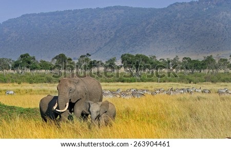 Landscape view of a herd of elephants and backdrop of lots of zebras in the long grass with a mountainous background  in Masai Mara - Kenya - stock photo