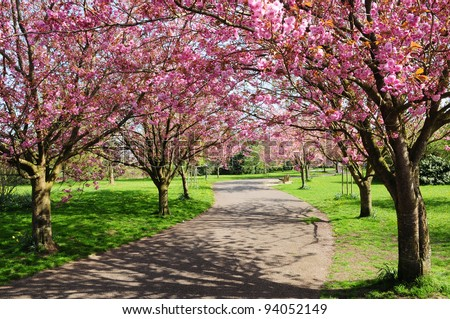 Landscape View of a Winding Garden Path Lined with Beautiful CherryTrees in Blossom - stock photo