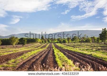 Landscape view of farmland, plot or bed of cassava or manioc or tapioca plant or genus Manihot in puffy clouds blue sky