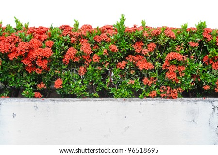 Landscape view of Red Ixora coccinea (or Jungle Geranium, Flame of the Woods, and Jungle Flame) isolated on white background - stock photo
