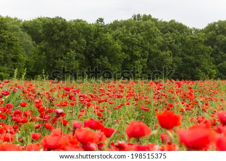 Landscape wallpaper of red flower field with green trees in background - stock photo