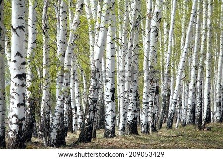 landscape white birch trees in the green haze young foliage in early spring - stock photo