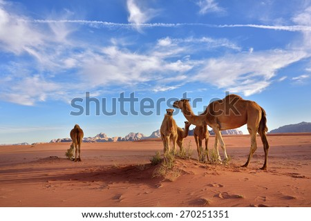 Landscape with a camels family in Wadi Rum desert at sunset, Jordan - stock photo