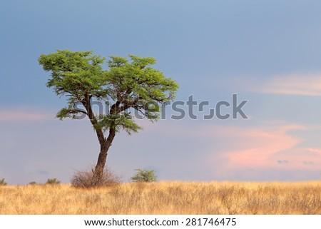 Landscape with a camelthorn Acacia tree (Acacia erioloba), Kalahari desert, South Africa - stock photo