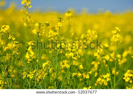 Landscape with a rapeseed field under clear blue sky