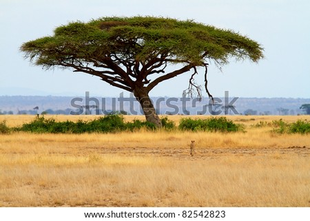 landscape with Acacia tree and cheetah in Africa - stock photo
