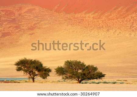 Landscape with African Acacia trees (Acacia erioloba), Sossusvlei, Namibia, southern Africa