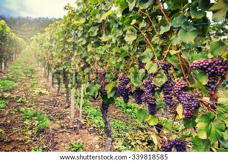 Landscape with autumn vineyards and organic grape on vine branches - stock photo