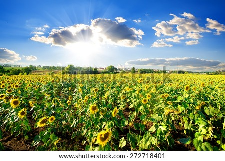 Landscape with blossoming sunflowers under sunny sky - stock photo