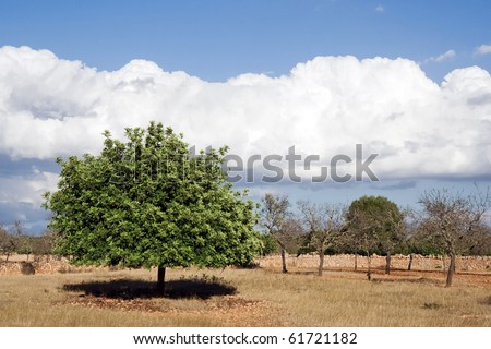 Landscape with carob tree on the field of grass with broad crown and shadow under the tree, a group of almond trees, antique stone wall in their background, blue sky with big white cloud (Mallorca) - stock photo