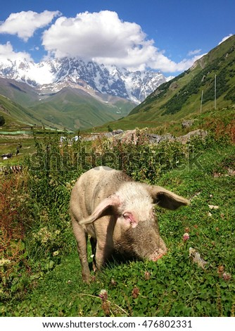 landscape with Caucasus Shkhara mountain and pig