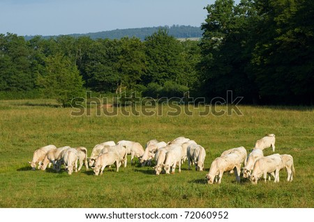 Landscape with Cows in Burgundy - stock photo