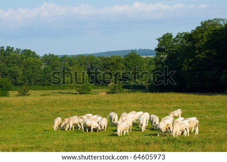 Landscape with Cows in Burgundy, France - stock photo