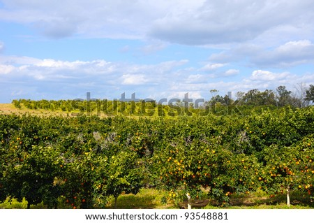 landscape with cultivated orange garden - stock photo