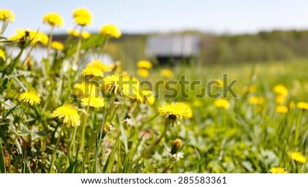 Landscape with dandelion field. - stock photo
