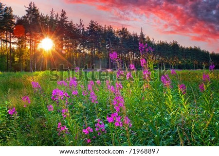 Landscape with Fireweed at sunny summer evening - stock photo