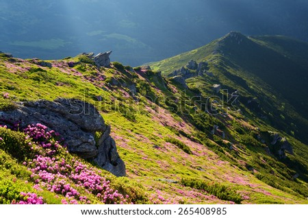Landscape with flowers. Summer in the mountains. Blooming rhododendron - stock photo