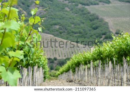 Landscape with grapevine closeup: the vineyards on a hillside. Agrolandscape: the wine vineyards of Crimea - stock photo