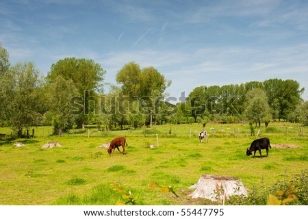 Landscape with grazing cows in Dutch Limburg - stock photo