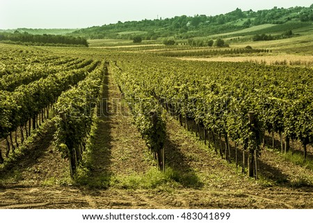 Landscape with  green vineyards