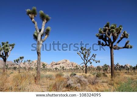 Landscape with joshua tree (Joshua Tree National Park) - stock photo
