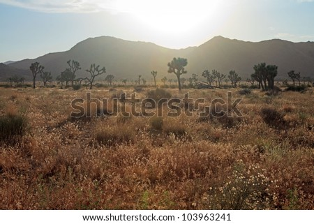 Landscape with joshua trees at sunset. Joshua Tree National Park. USA. - stock photo