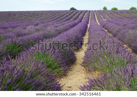 Landscape with Lavender flowers field, Provence, France - stock photo