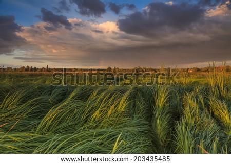 Landscape with marsh overgrown sedge - stock photo