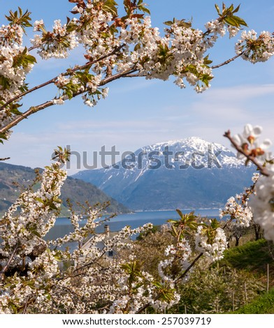 Landscape with mountains in Norwegian fjords in spring. view through the blooming cherry branch - stock photo