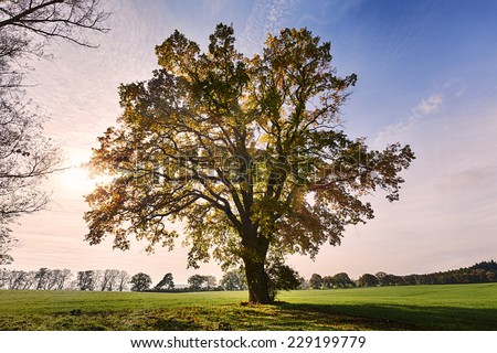 landscape with old oak against the morning sun - stock photo