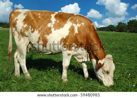 Landscape with one young cow - stock photo