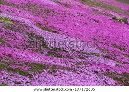 landscape with pink flower, pink moss,on the mountain shitose Hokkaido Japan. - stock photo