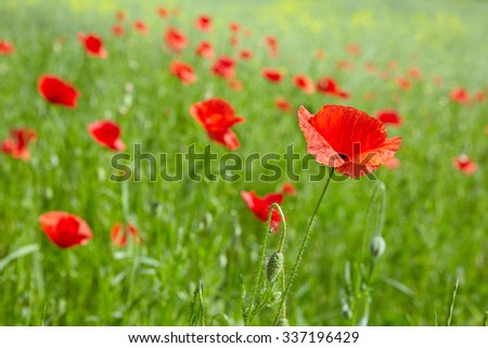 landscape with red flowers poppies in green - stock photo