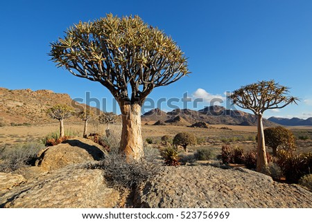 Landscape with rocky mountain and quiver trees (Aloe dichotoma), Northern Cape, South Africa