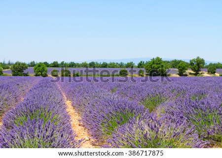 landscape with rows of lavender field under summer blue sky, France - stock photo