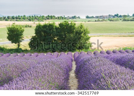 Landscape with rows of Lavender flowers, Provence, France - stock photo
