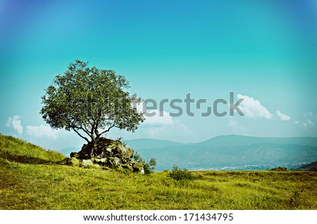 Landscape with single olive tree and blue sky, natural retro vintage  summer background - stock photo
